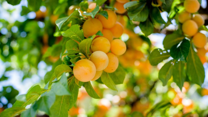 FRUIT TREES: Primer and Selection